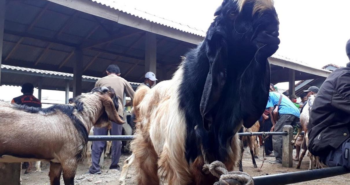 Angkut Kambing dari Pasar Hewan Dengan Menggunakan Ambulans