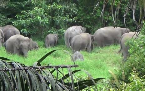 Seekor Induk Gajah Mati Makan Nanas Berisi Petasan di India