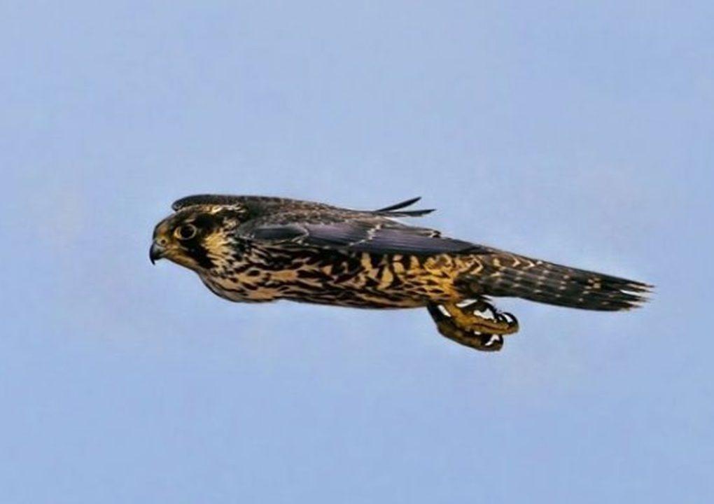Adu Balap Burung dan Jenis Burung Paling Tercepat Di Dunia
