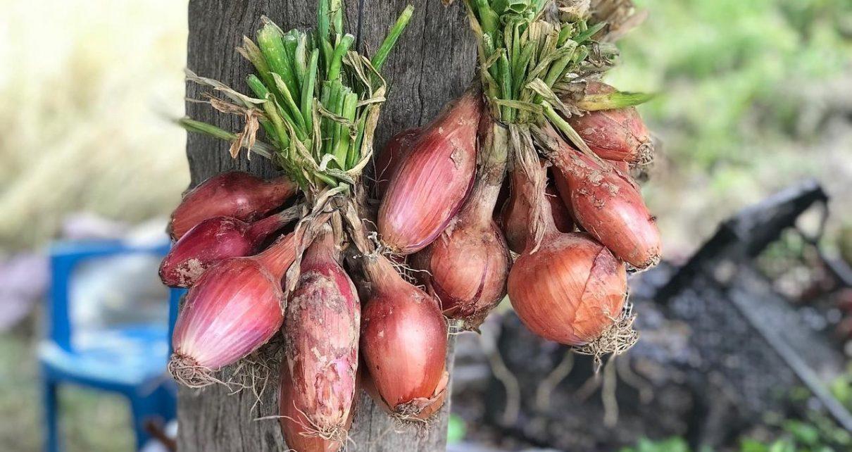 Manfaat Bawang Dayak Bagi Kesehatan, Bumbu Dapur yang Ampuh