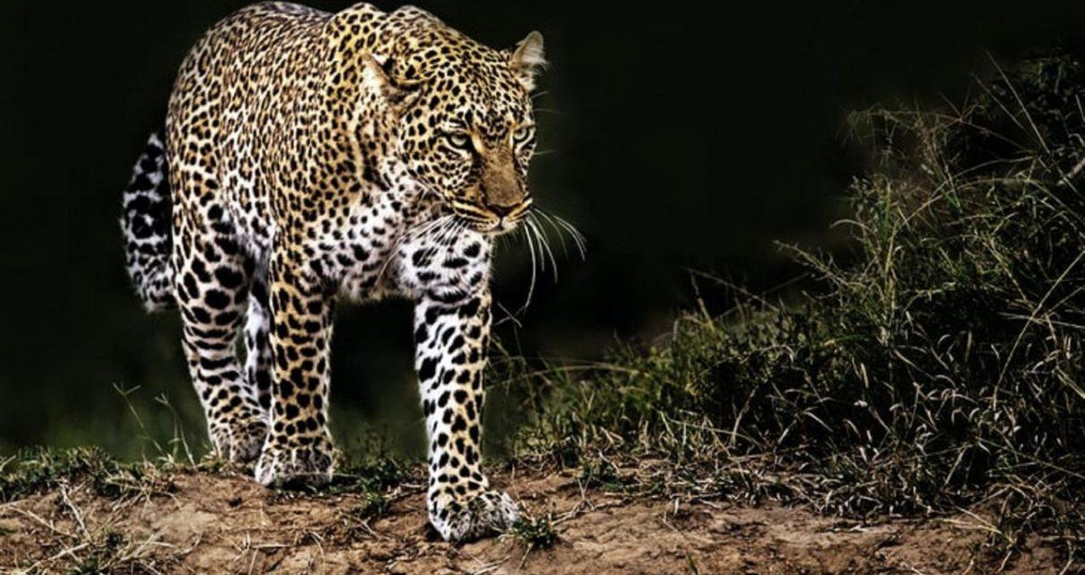 Sedang Asyik Melakukan Pemotretan Model Wanita di Terkam Macan Tutul