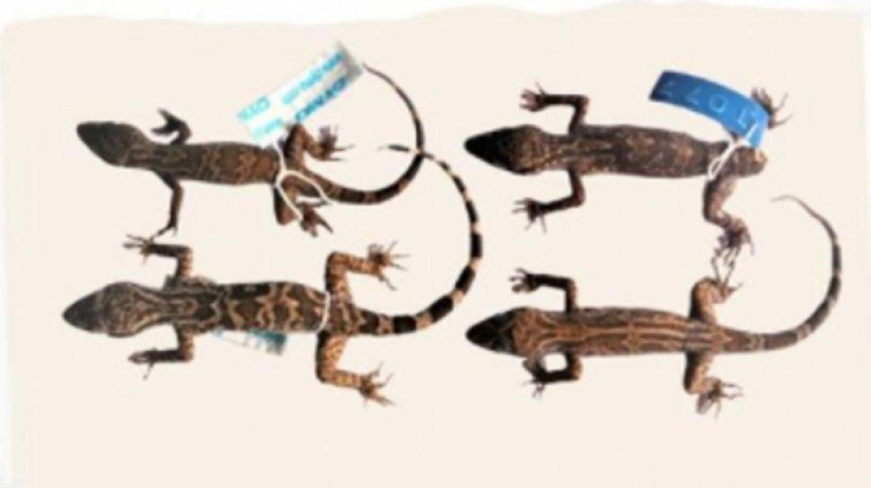Cecak Jarilengkung Baru Ditemukan di Kalimantan